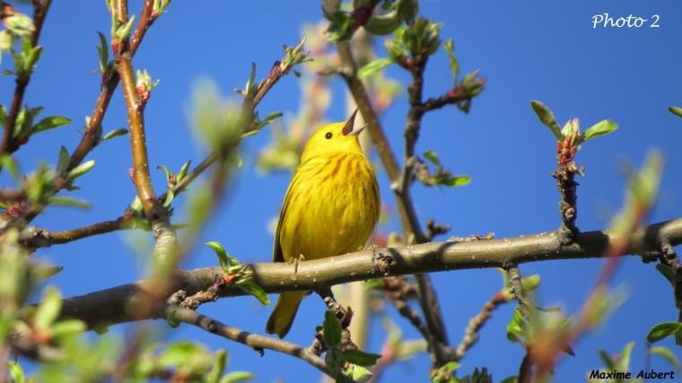 Paruline jaune 2